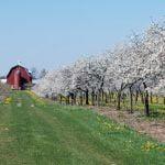 Cherry Blossoms at Lautenbachs