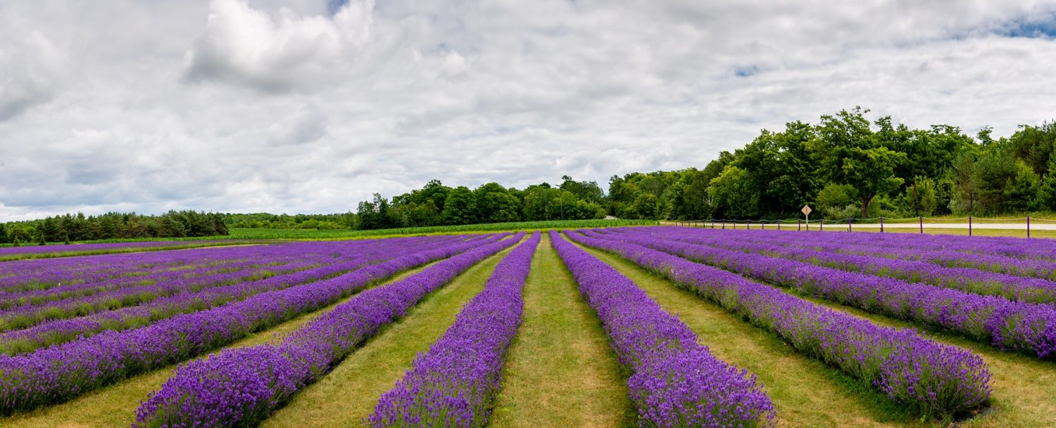 lavender field in door county