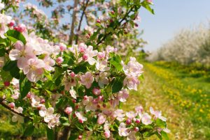 Blooming orchard - apple trees