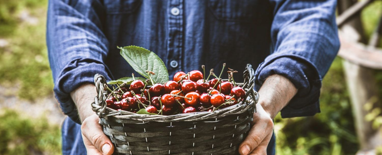 door county cherry-picking season