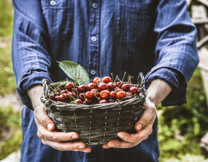 door county cherry-picking season